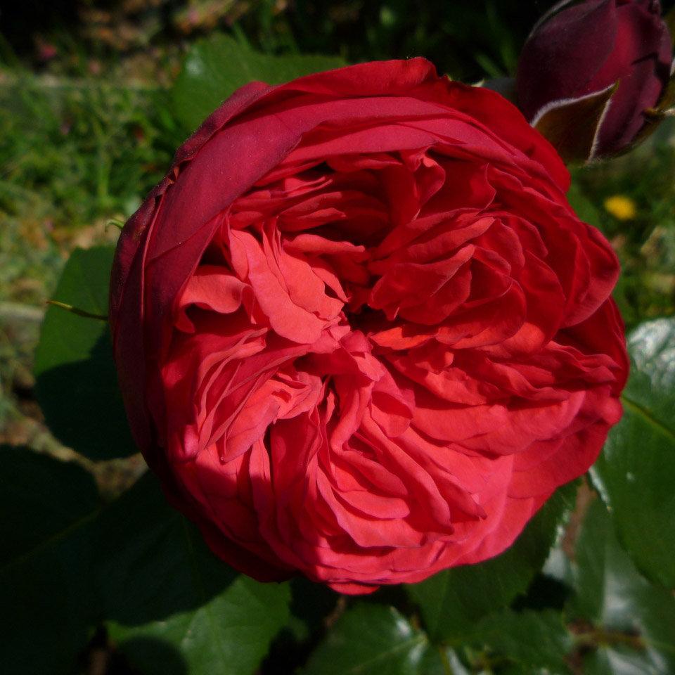 вкусный рецепт роза пиано фото и описание отзывы присвоенному